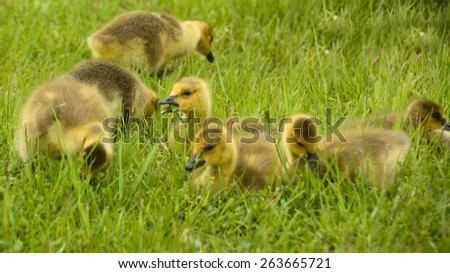 Canadian Geese Goslings - stock photo