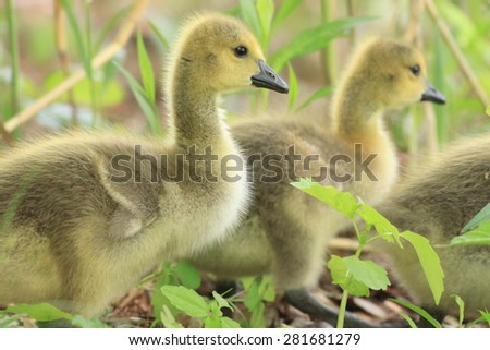 Canadian Geese Goslings walking and looking right in soft natural light - stock photo