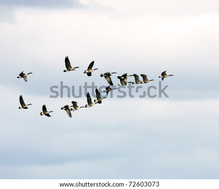 Canadian Geese in Flight - stock photo