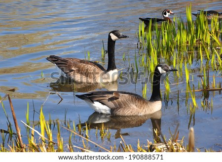 Canadian geese in swamp area - stock photo