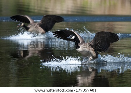 Canadian geese landing in the water on a pond - stock photo