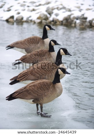 Canadian geese standing in line along some ice. - stock photo