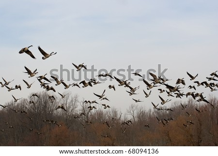 Canadian Geese take Flight - stock photo