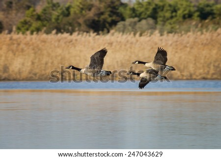 Canadian Geese Taking Off - stock photo