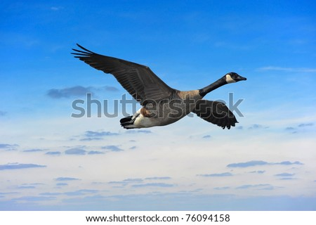 Canadian goose flying against a sunset in Maryland - stock photo