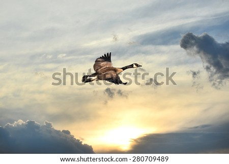Canadian Goose flying over a setting sun at twilight - stock photo