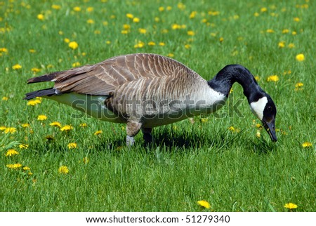 Canadian goose grazing on grass - stock photo