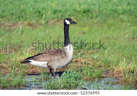 Canadian Goose in Wetland - stock photo