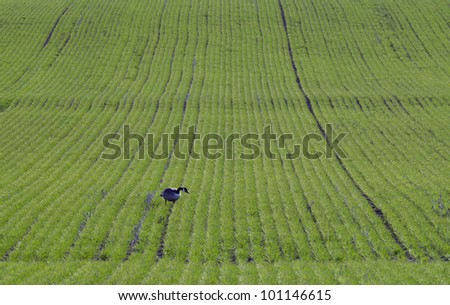Canadian goose on green farm field - stock photo
