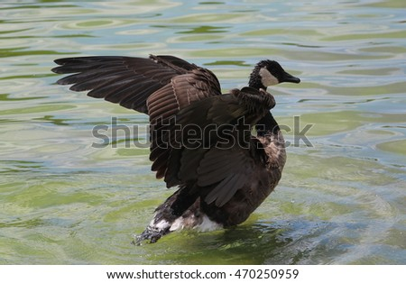 Canadian Goose ready to get out of water after bathing and grooming, wings partially up