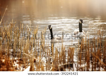 Canadian goose swimming - stock photo