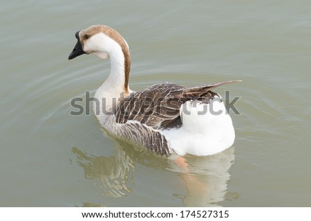 Canadian goose swimming in dark water  - stock photo