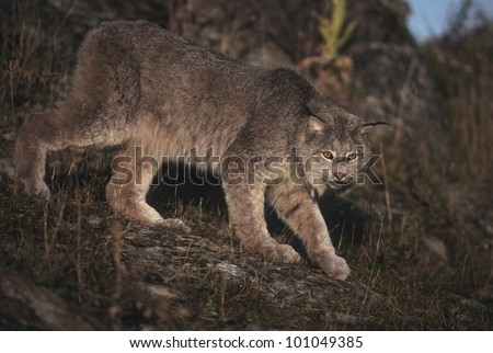 Canadian Lynx (Lyns canadensis) enjoys a limited range in the lower 48 states but is relatively wide spread in Alaska and Canada where it preys on the Snowshoe Hare. - stock photo