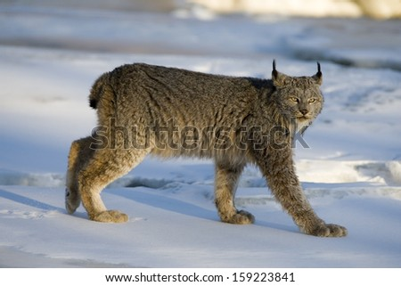 Canadian lynx, Lynx canadensis, single cat in snow,  - stock photo