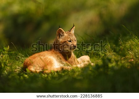 Canadian lynx, Lynx canadensis, Young Lynx relaxing on the grass, cub  - stock photo