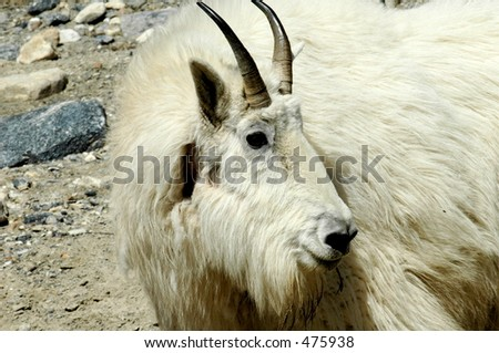 Canadian Mountain Goat - stock photo