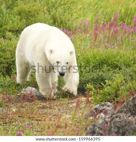 Canadian Polar Bear walking in the colorful arctic tundra of the Hudson Bay near Churchill, Manitoba in summer - stock photo