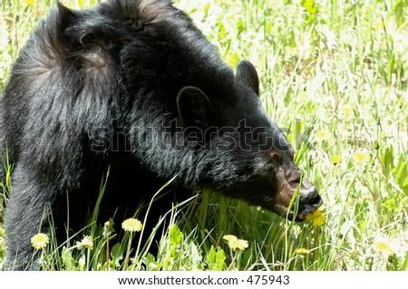Canadian Rockies Bear - stock photo
