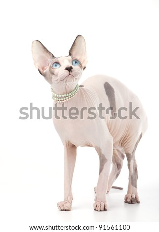 Canadian sphinx cat chocolate harlequin with blue eyes and pearl necklace on white background - stock photo