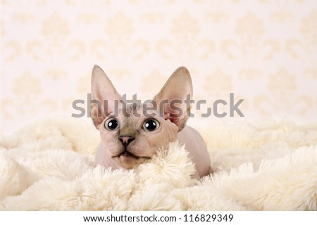 Canadian sphynx - stock photo