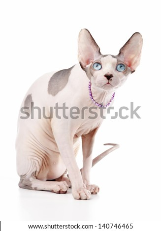 Canadian Sphynx cat chocolate harlequin with blue eyes sitting on white background  - stock photo