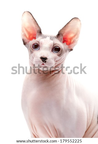 Canadian Sphynx cat portrait close-up on white background  - stock photo