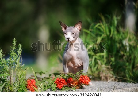 canadian sphynx cat sitting outdoors - stock photo