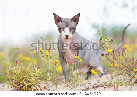 canadian sphynx cat walking outdoors - stock photo