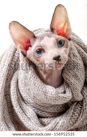 Canadian Sphynx cat wrapped in knitted scarf portrait close-up  on white background  - stock photo