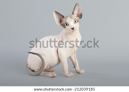 Canadian sphynx kitten on gray background