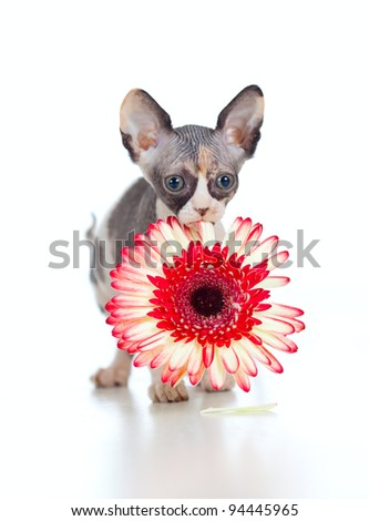 Canadian sphynx kitten with African daisy flower in her mouth - stock photo