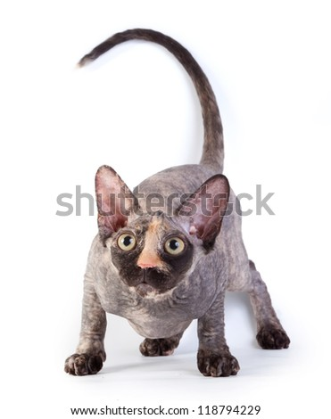 Canadian sphynx on the white background - stock photo