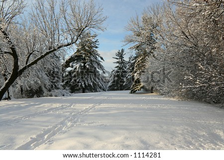 Canadian winter scene with tall pine trees - stock photo