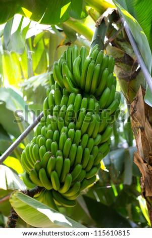 Canarian Banana plantation Platano in La Palma Canary Islands - stock photo