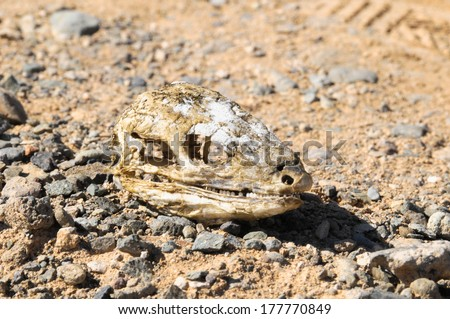 Canarian Dry Lizard Skull Bone in the Desert