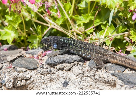 Canarian lizard basking in the Canary Islands
