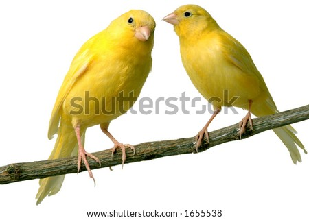 Canaries talking to each other - stock photo