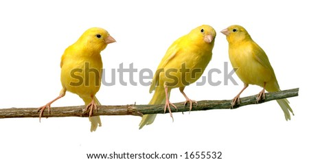 Canaries talking to each other while other is listening - stock photo