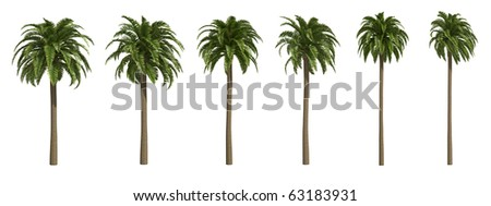 Canary date palms isolated on white
