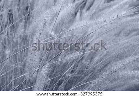 Canary grass - Tenerife, Spain - stock photo