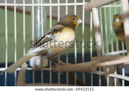 Canary in his cage - stock photo