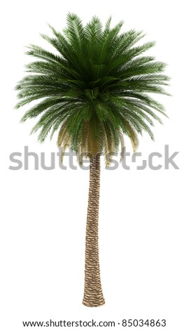 canary island date palm tree isolated on white background - stock photo