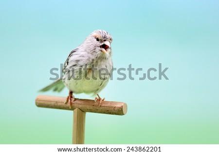 Canary (Serinus canaria) singing. - stock photo