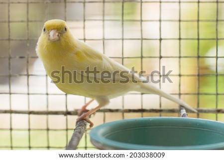 canary yellow - stock photo