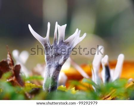 Candlestick fungus, Xylaria hypoxylon - stock photo