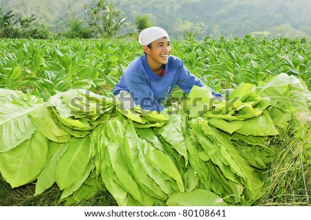 Farmers Harvesting Crops Farmer Harvests Leaves of