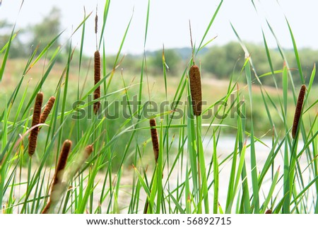 Cane at  small river - stock photo