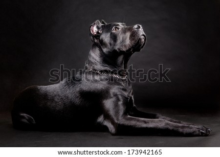 Cane corso, black dog on the black background - stock photo
