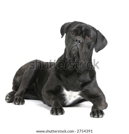 Cane Corso black lying down in front of white background - stock photo