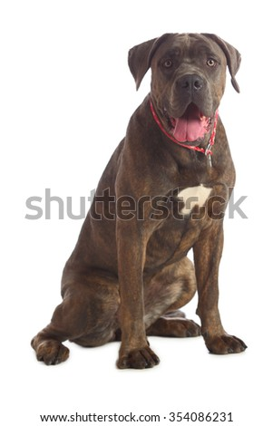 Cane Corso brindle sitting on the floor isolated on white